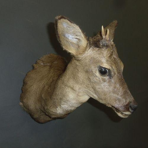 Chevreuil d'Europe (Capreolus capreolus) (CH) : tête en cape avec prémices forma…