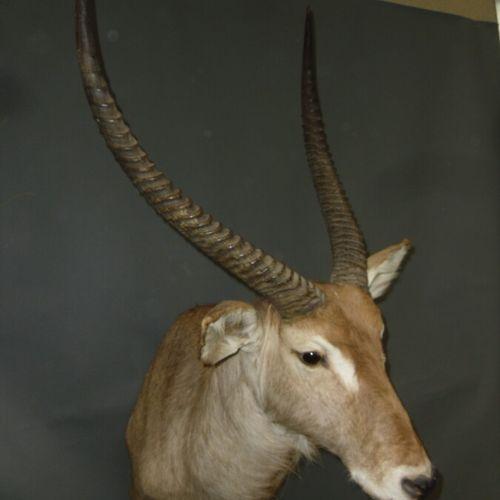 Cob defassa (Kobus defassa) (CH) : tête en cape