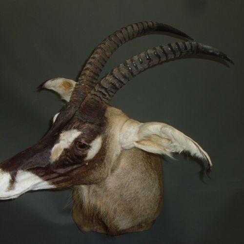 Hippotrague rouan de l'ouest (Hippotragus equinus koba) (CH) : tête en cape  Spé…