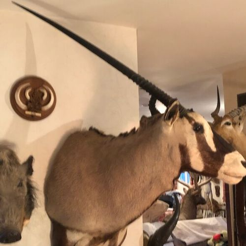 Oryx gemsbok (Oryx gazella) (CH) : magnifique tête en cape ; belle pièce décorat…