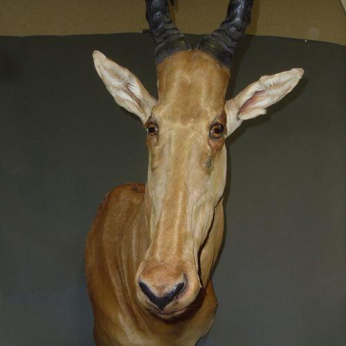Bubale major (Alcelaphus buselaphus major) (CH) : tête en cape  Spécimen collect…