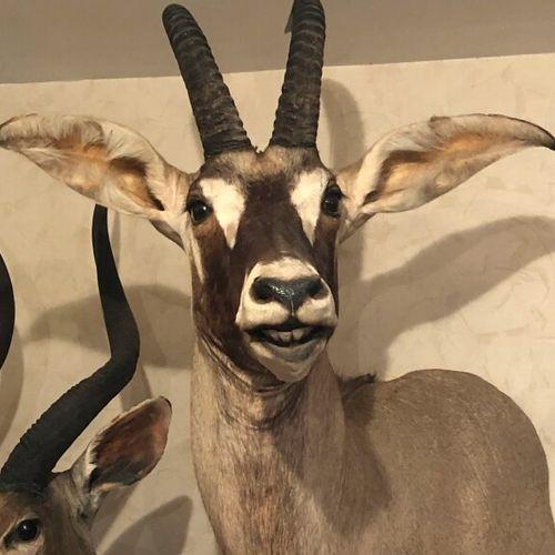 Hippotrague rouan de l'ouest (Hippotragus equinus koba) (CH) : tête en cape prés…