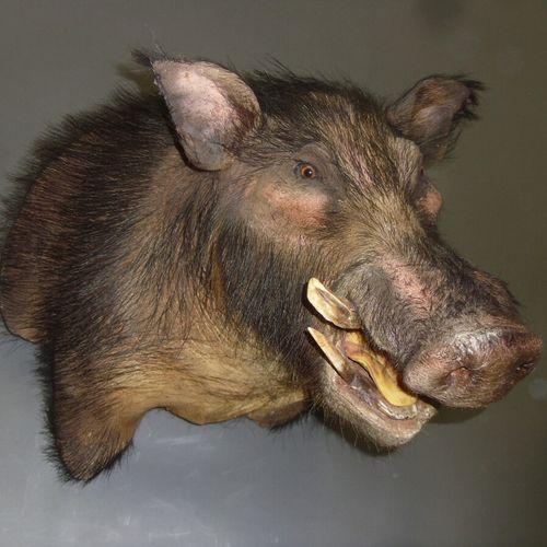 Hylochère (Hylochoerus meinertzhageni) (CH) : tête en cape présentée en demi bus…