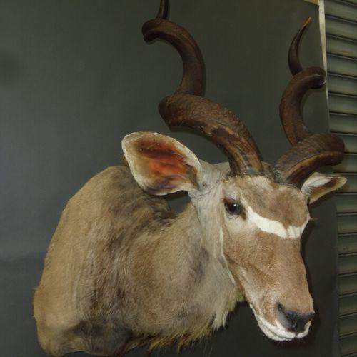Grand koudou (Tragelaphus strepsiceros) (CH) : tête en cape