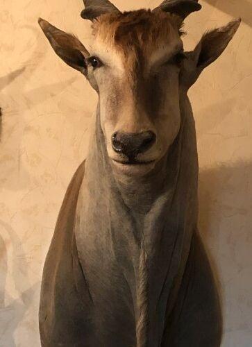 Elan du Cap (Taurotragus oryx) (CH) : tête en cape ; une oreille endommagée, en …