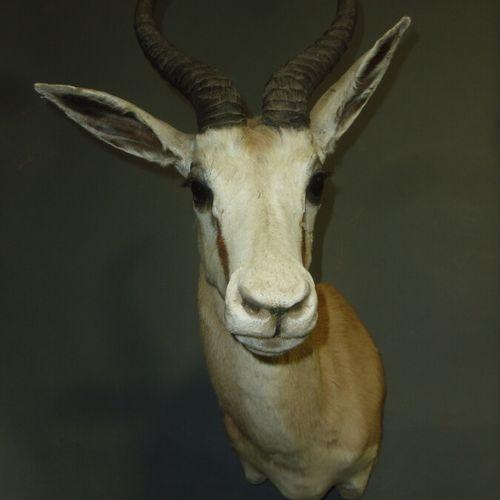 Gazelle springbok (Antidorcas marsupialis) (CH) : tête en cape
