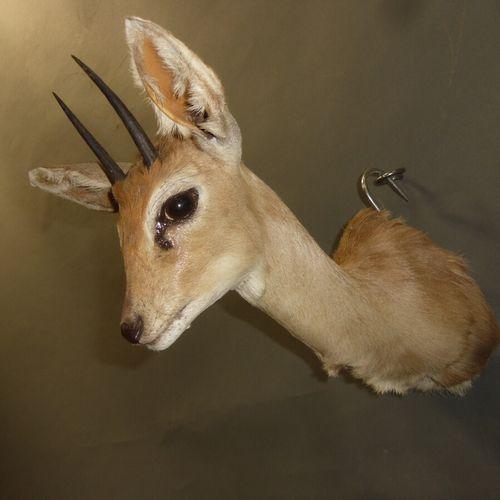 Steenbok (Raphicerus campestris) (CH) : tête en cape
