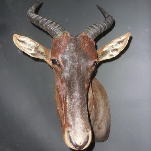 Damalisque sassaby (Damaliscus lunatus) (CH) : tête en cape