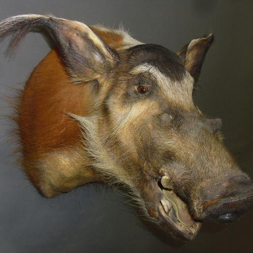 Potamochère d'Afrique (Potamochoerus porcus) (CH) : tête en cape  Spécimen colle…