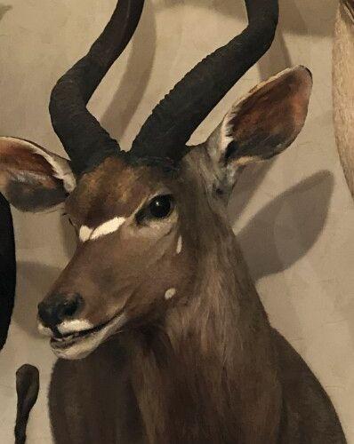 Nyala (Tragelaphus angasi) (CH) : tête en cape présentée en demi buste