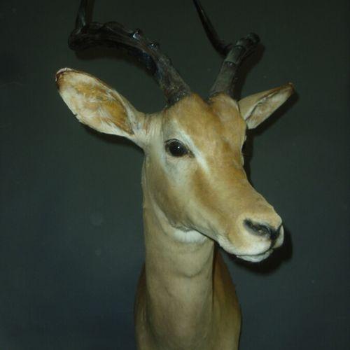 Impala (Aepyceros melampus) (CH) : tête en cape ; accident à une oreille, en l'é…