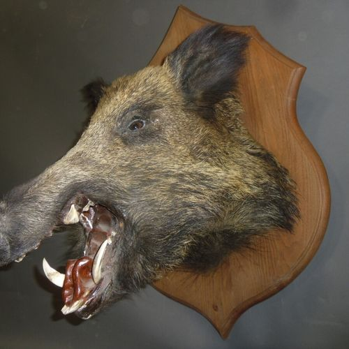 Sanglier d'Europe (Sus scrofa) (CH) : tête naturalisée gueule ouverte sur écusso…