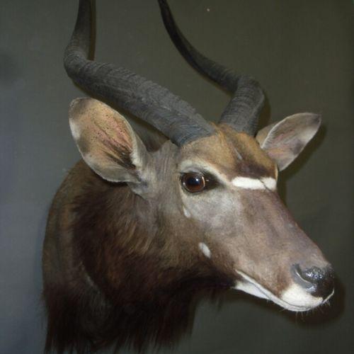 Nyala (Tragelaphus angasi) (CH) : tête en cape