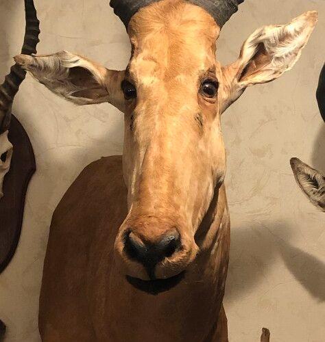 Bubale major (Alcelaphus buselaphus major) (CH) : tête en cape