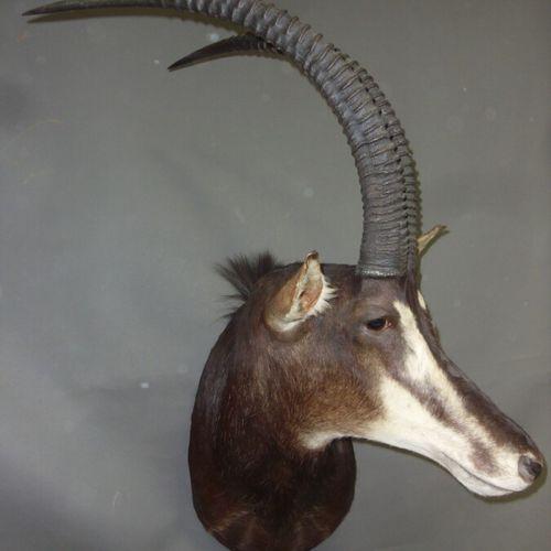 Hippotrague noir (Hippotragus niger) (CH) : belle tête en cape