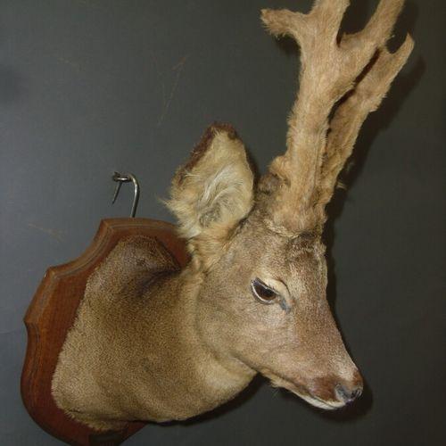 Chevreuil d'Europe (Capreolus capreolus) (CH) : tête naturalisée sur écusson d'u…