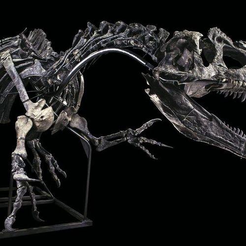 Allosaurus sp. Jurassique Supérieur (150,8 à 145,5 MA) Formation Morrison, Wyomi…