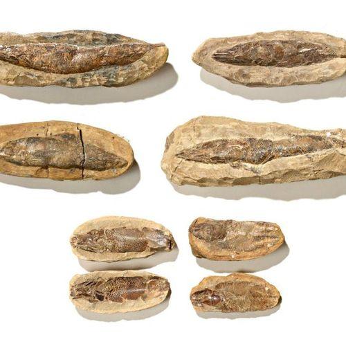 Ensemble de six poissons fossiles de Madagascar présentés dans leur gangue (géod…