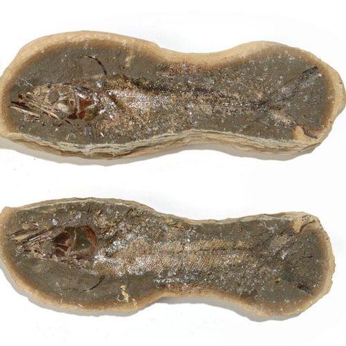 Poisson fossile de Madagascar  Beau spécimen, belle fossilisation  L : 33,5 cm