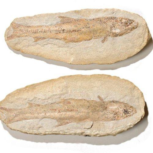 Poisson fossile de Madagascar  Beau spécimen, belle fossilisation  L : 35,5 cm