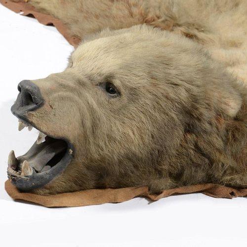 Ours grizzli (II/A CE) pré convention : Ursus arctos horribilis  Manufacture anc…