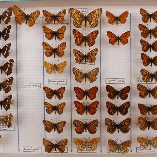 CINQ BOITES DE DIVERS NOCTURNES ET DIURNES  Saturniidae, Sphingidae, Nymphalidae…
