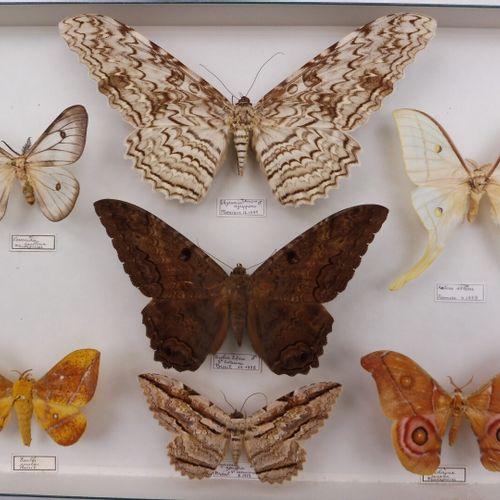 DEUX BOITES DE PAPILLONS NOCTURNES  Noctuidae, Saturniidae, Attacus, Copiopteryx…