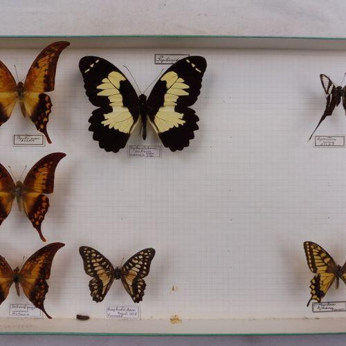 CINQ BOITES DE PAPILLONS EXOTIQUES DIVERS  Papilionidae, Nymphalidae, Pieridae  …