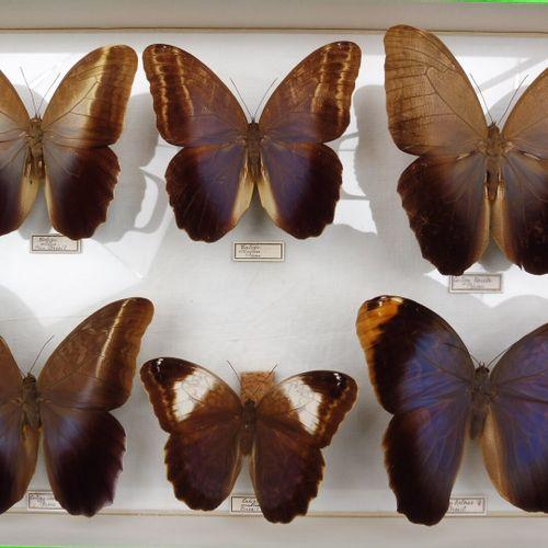 UNE BOITES DE BRASSOLIDAE  Caligo spp.    Ref 2