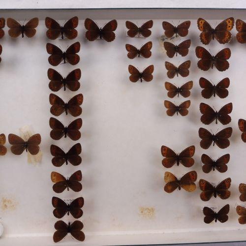 SEPT BOITES DE PAPILLONS DIURNES DIVERS  Nymphalidae, Satyridae, Lycaenidae    R…