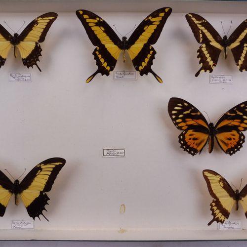 CINQ BOITES DE PAPILLONS EXOTIQUES DIVERS  Papilionidae,Nymphalidae, Heliconiida…