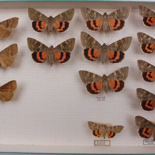 QUATRE BOITES DE NOCTURNES FRANÇAIS  Noctuidae, Catocala.    Ref 21 22 75 76
