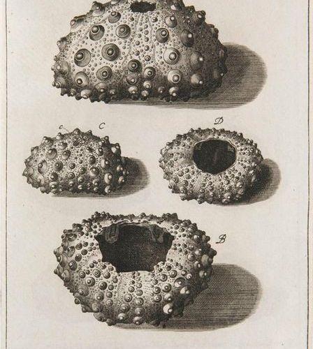 Klein, Jakob Theodor Descriptiones Tubulorum Marinorum in quorum censum relati L…