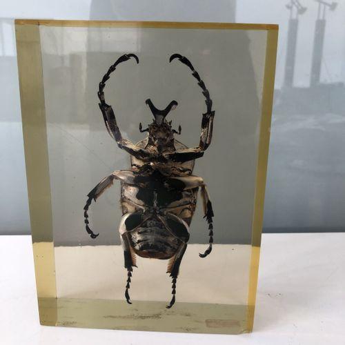 Scarabée goliath sous plexiglass.  18 x 13 x 5,5 cm.  Usures, rayures et éclat. …
