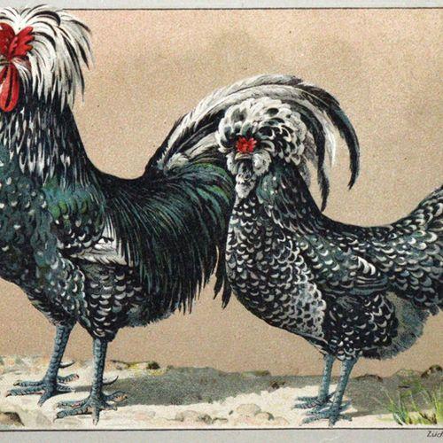Kramer,R. Pocketbook of Breeding Poultry.... Würzburg, Stürtz (1899). Avec 90 pl…