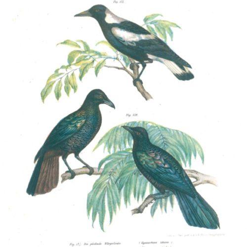 Fitzinger,L.J. 关于鸟类所有主要形式的科学 流行自然史的图片地图集。维也纳,Hof u. Staatsdruckerei 1864. 4°。有34…