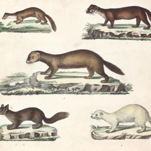 Strack,F. 图片中的自然历史与解释文字。第1批(共4批):哺乳动物。Dusseldorf, Arnz 1828. Qu.Gr.8°.有石印标题和84张彩…