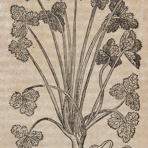 Tabernaemontanus,J.T. 新的草药书,有美丽的、人工的和生动的数字和甜点,所有的草药、文字、花、水果、谷物、香料、树木、多年生植物和树篱...…