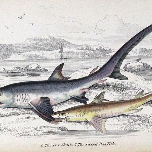 Yarrell,W. Une histoire des poissons britanniques. 2. Ed. 2 vols. Londres, van V…