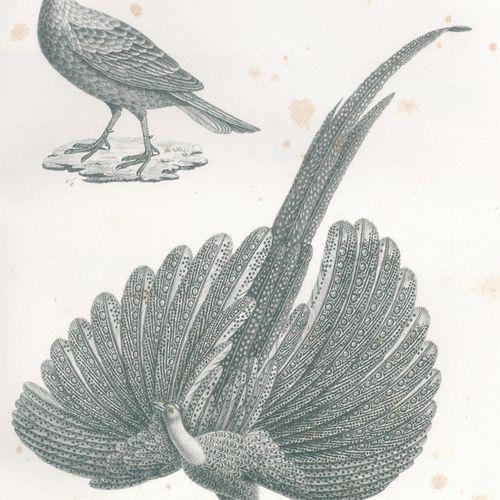 Schinz,H.R. 鸟类属的自然历史和插图。根据最新的系统进行编辑。文本和地图集共2卷。苏黎世,Brodtmann 1830年。有石印标题和144幅石印版画…