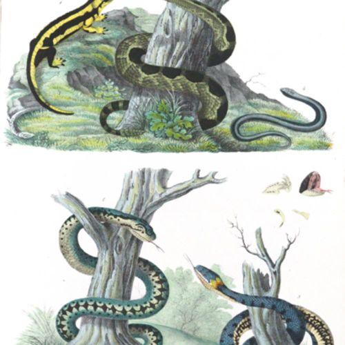 Schinz,H.R. 来自自然历史的插图。(2nd ed.).苏黎世,Schulthess(1824 28)。Fol.41张(其中39张是彩色的)石版画。(没…