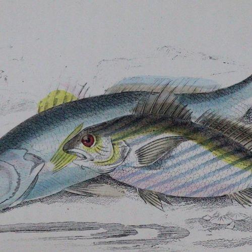 Hamilton,R. Une histoire des poissons britanniques. 2 volumes. Londres, Allen & …