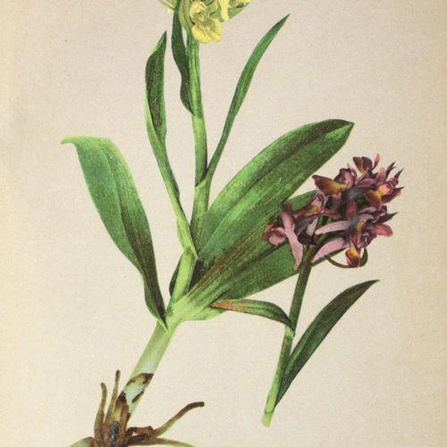 Atlas der Alpenflora. 2ème édition révisée. Ed. Par K. W. V. Dalla Torre. (1 vol…