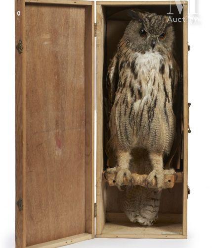 HIBOU GRAND DUC Appelant.  Présenté dans sa boite de transport en bois.  Hauteur…