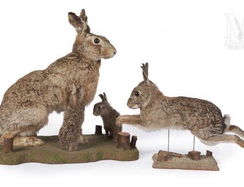 LIÈVRES, LAPIN DE GARENNE Le lièvre avec ses deux petits.  Lepus europaeus, Oryc…