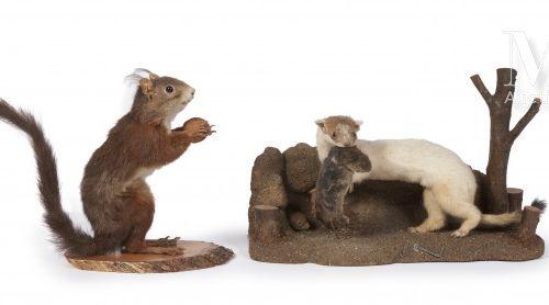 HERMINE, ÉCUREUIL L'hermine avec deux souris.  Mustela erminea, Mus musculus, Sc…