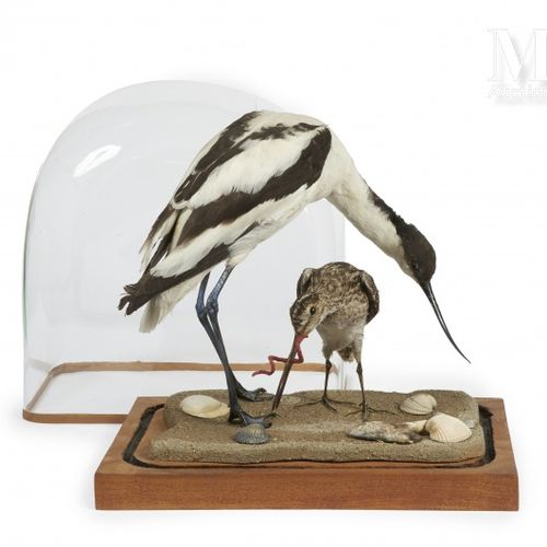 AVOCETTE, BÉCASSINE Présentée dans un globe ancien.  Recurvirostra avosetta, Gal…