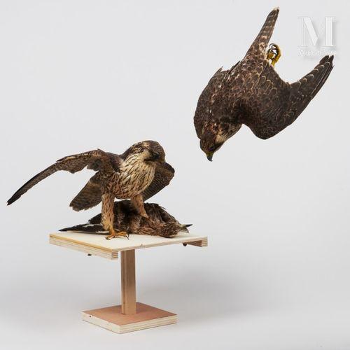 DEUX FAUCONS PÈLERINS Dont un avec sa proie, l'autre en piqué.  II/A, Falco pere…