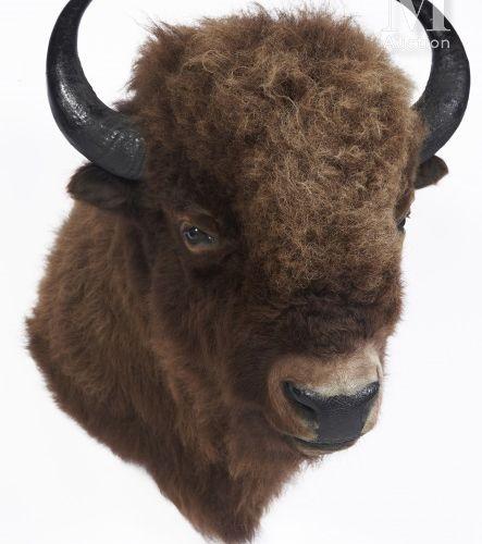BISON D'AMÉRIQUE Tête en cape. Très belle.  Bison bison.