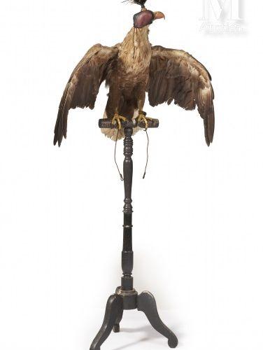 PYGARGUE À QUEUE BLANCHE Naturalisé ailes ouvertes encapuchonné pour la chasse a…